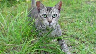 興味あるけど近づけない、ちょっとビビりなキジトラ猫がコッチを見ています