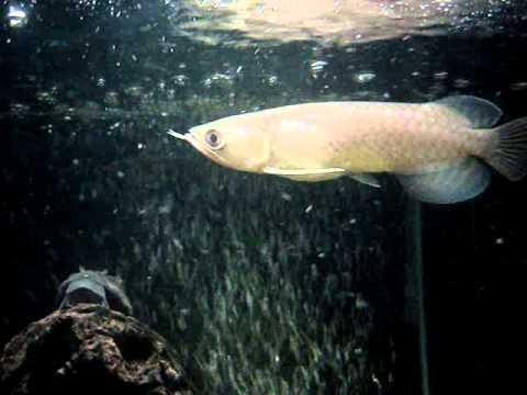 ปลามังกรเขียว 6 นิ้ว