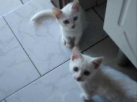 Gatos - Miando