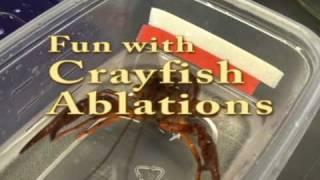 Crayfish Ablation