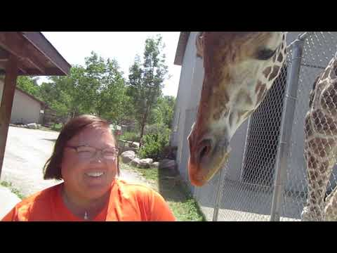Giraffe Playing Soccer And Getting Friendly Special Memories Zoo Greenville, WI 7-28-19