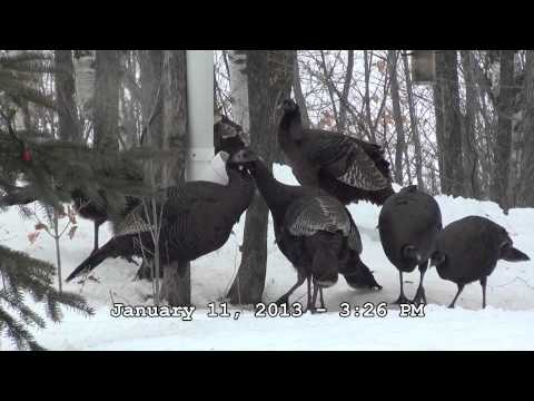20 Turkeys at our deer feeders