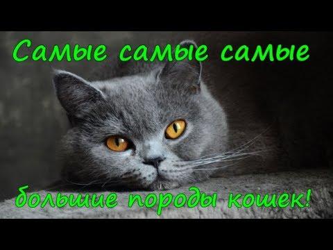 САМЫЕ БОЛЬШИЕ ПОРОДЫ КОШЕК  THE LARGE CAT BREEDS