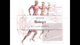 Анатомия. Мышцы