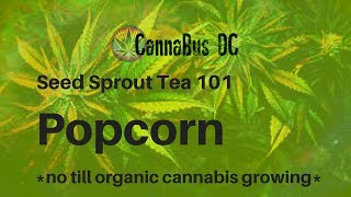 Seed Sprout Tea 101: Popcorn (No till, organic, cannabis growing)