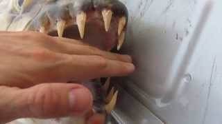 Goliath Tigerfish