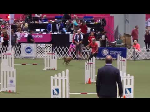 Irish Terrier Brooke in the 2017 AKC Agility Invitational