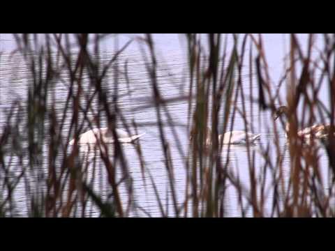 Ducks, Geese, And Swans Of North America By Guy Baldassarre