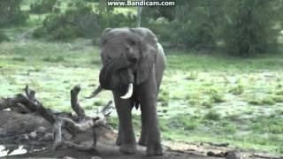 Słoń afrykański przy wodopoju - świat zwierząt Afryki -,, Safari