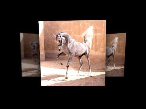 Arab horses - horse photographer Francis Tilborghs