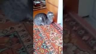Кошка зажигает! смешное видео// смотреть всем))