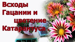 Гацания Ч 2 . Всходы . Цветет Катарантус .