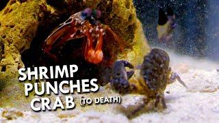 Mantis Shrimp have the World's Deadliest Punch