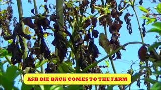 ASH DIEBACK COMES TO THE FARM