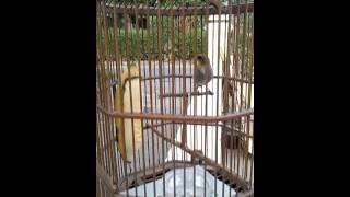 Video Burung talokan download MP3, 3GP, MP4, WEBM, AVI, FLV Juni 2018