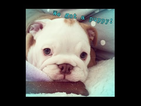WE GOT A PUPPY!! || English Bulldog Puppy