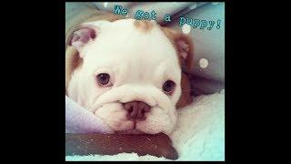 WE GOT A PUPPY!! || English Bulldog Puppy