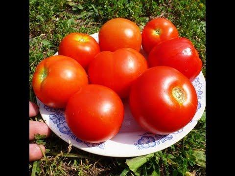 В Помидоме первыми начали краснеть томаты сорта Смоленский!