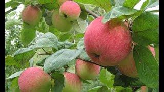 Лечебные свойства яблок