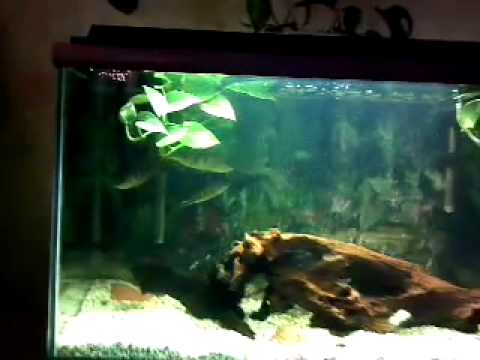 50g Peacock Bass Aquarium Youtube