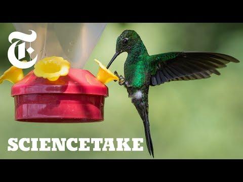 How the Hummingbird Wields Its Snake-Like Tongue | ScienceTake Mp3