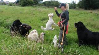 No Dog To Big Or Small For The Blackpool Dog Walker