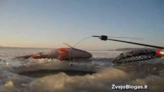 Poledinė ešerių žvejyba avižėle an...