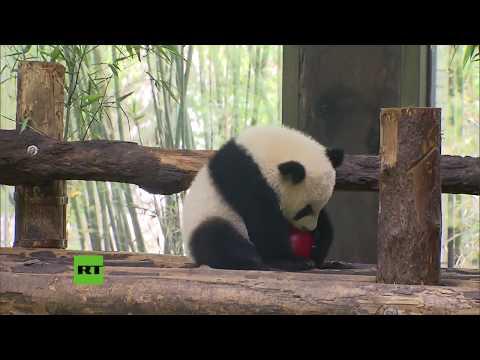 RT en Español: Un festival de China no sería lo mismo sin osos panda