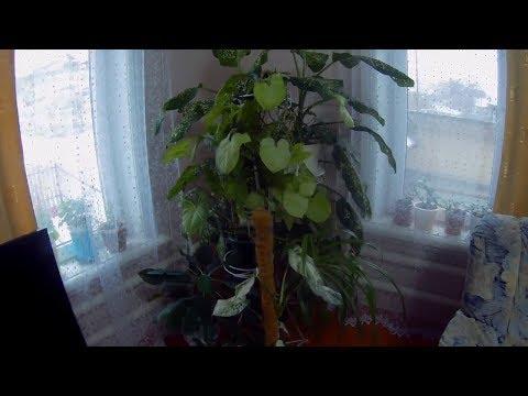 Обзор. Комнатные пестролистные и зеленые растения