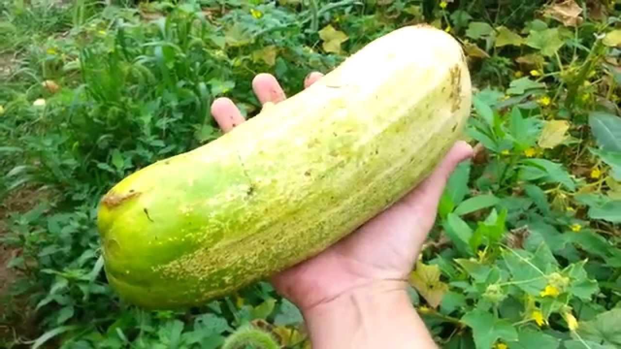 Huge cucumber