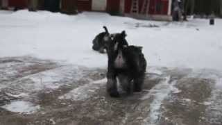 Andalbagat Miniature Schnauzer Puppies 8 Weeks Playing In The Snow, H-litter, Video 3