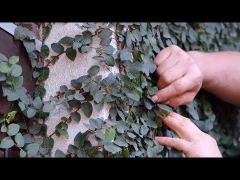 Ficus pumila o ficus trepador - Bricomanía - Jardinatis