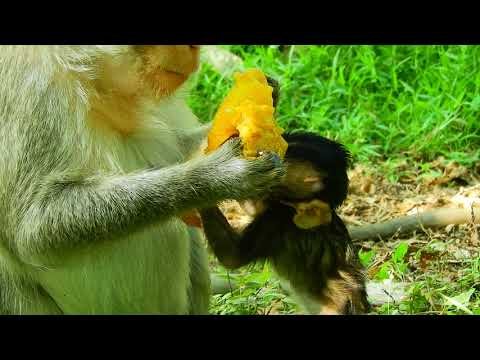 Welcome newborn bella so cute eating mango Part 1 |27 Newborn Monkey Crying