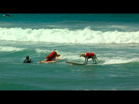 Large Surfing Dog Winner - 2017 Purina® Pro Plan® Incredible Dog Challenge® Western Regionals