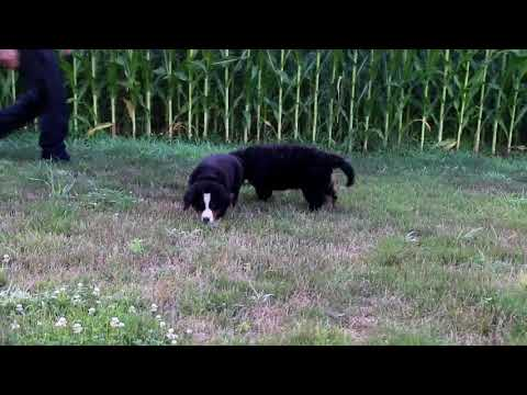 Bernese Mountain Dog Puppies For Sale David Stoltzfus 2