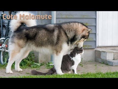 Alaskan Malamute trying his luck with a cat