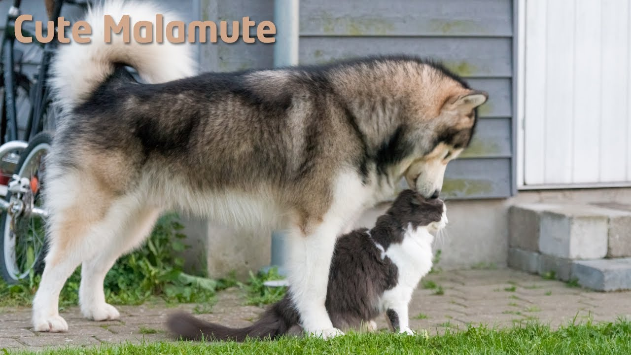 alaskan malamute trying his luck with a cat youtube