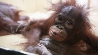 Cute baby orangutan playing with her mother