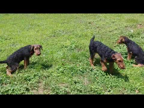 Potty Time Training Airedale Terrier Puppy Puppies For Sale On June 20, 2018