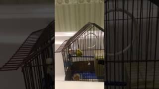 Жесткий секс волнистых попугайчиков