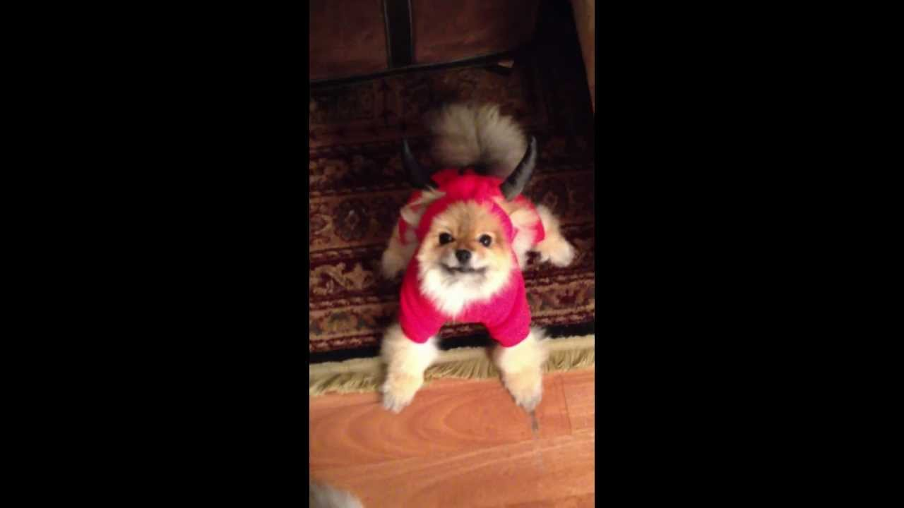 barrett the pomeranian puppy in halloween costume - youtube