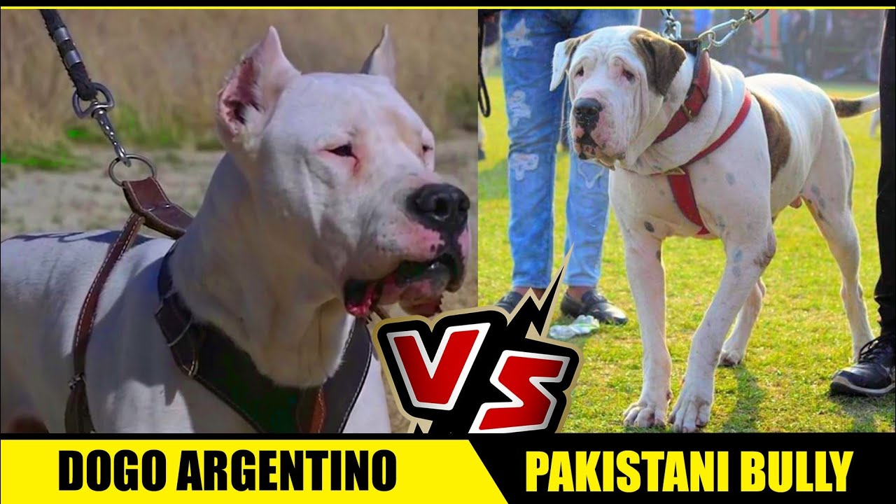 Dogo Argentino Vs Pakistani Bully In Hindi Bully Kutta Vs Dogo