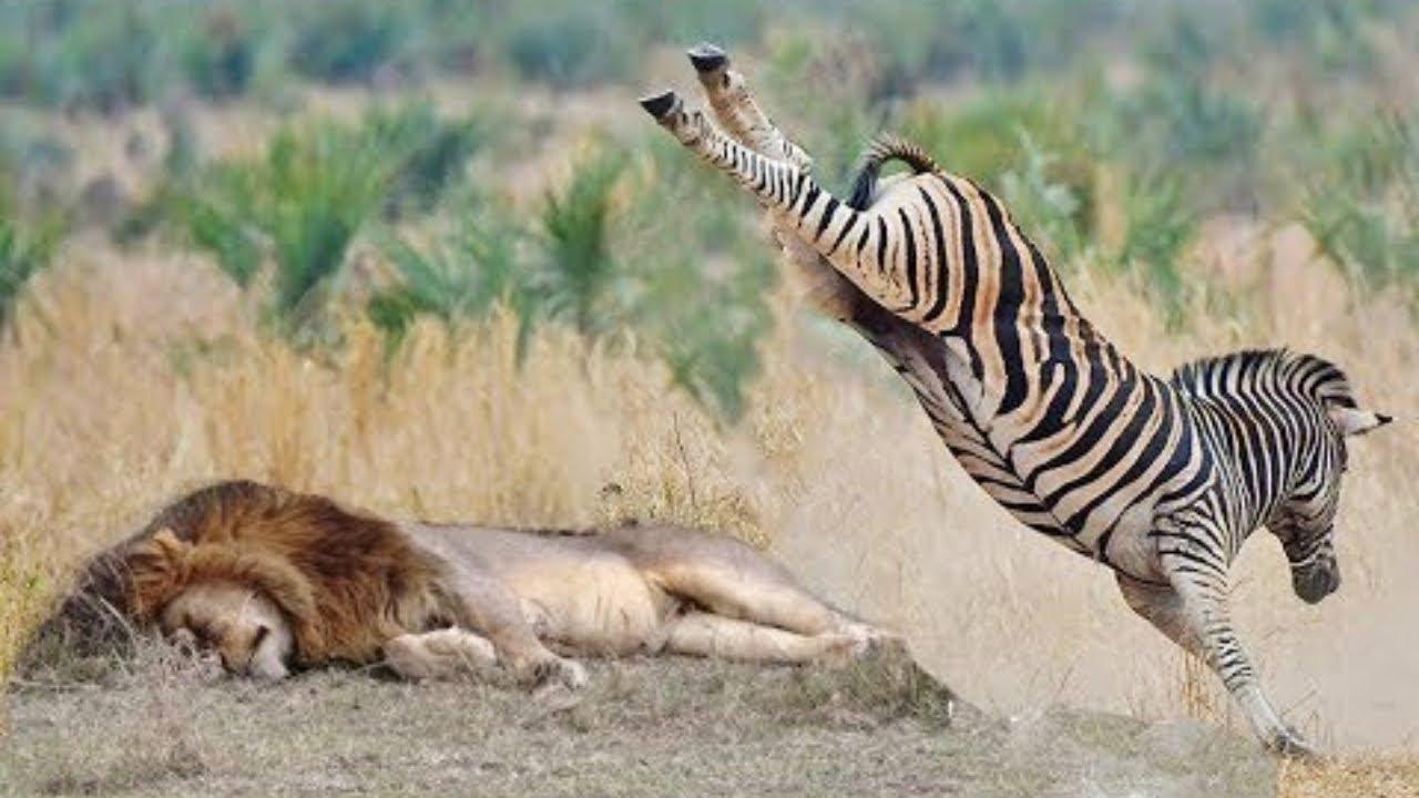 Вырубил с 1 Удара! Беспощадные Битвы Животных Снятые на Камеру