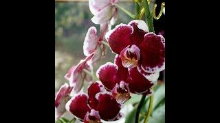 Пересадка орхидеи Фаленопсис.(Не большое видео о пересаживание орхидеи.Грунт которым я пользуюсь.Цветение моих орхидей продолжается.Июл..., 2016-08-04T07:31:02.000Z)