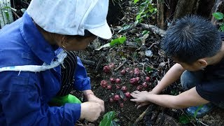 """Mushroom harvest """"Ngoc Cau"""", a lucky day"""