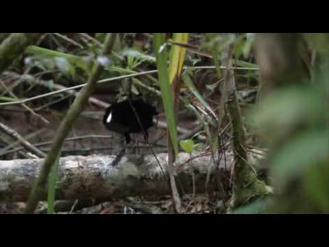 casey 3 paradisebirds nude