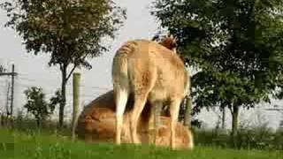Lama's having sex