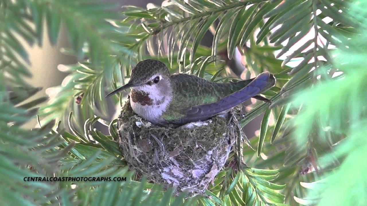 Nesting Ruby Throated Hummingbird Youtube