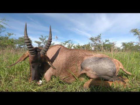 Hunting Topi in Tanzania Africa