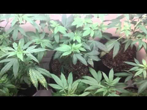 Life of a Marijuana Grower, Ugh!
